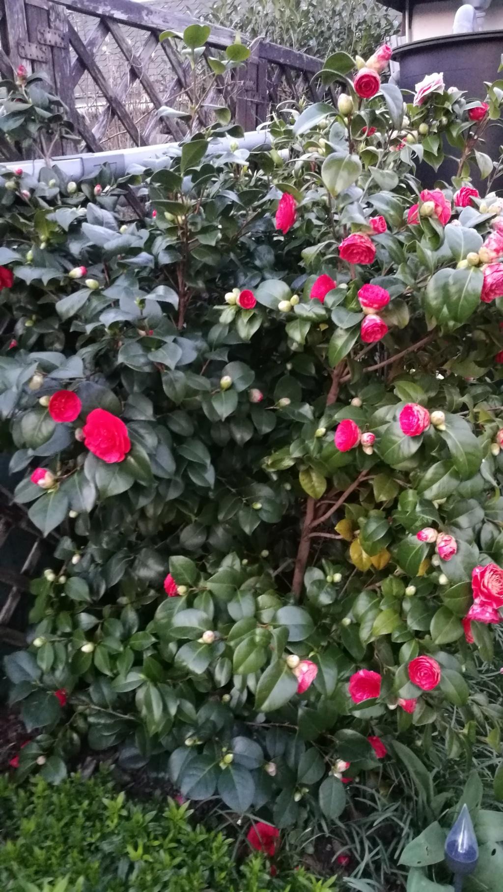Camellia - Kamelien - Seite 9 Img_2145