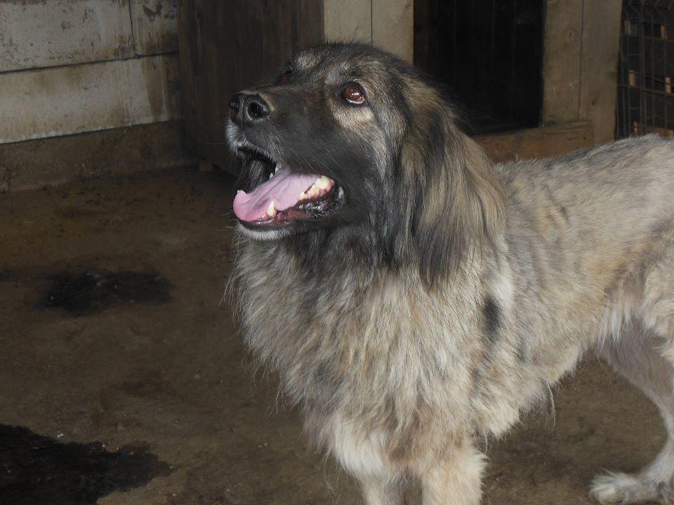 SARRA, croisée berger des Carpates née en 2014 - Parrainée par Dankesori -SC-R-SOS- 41703310