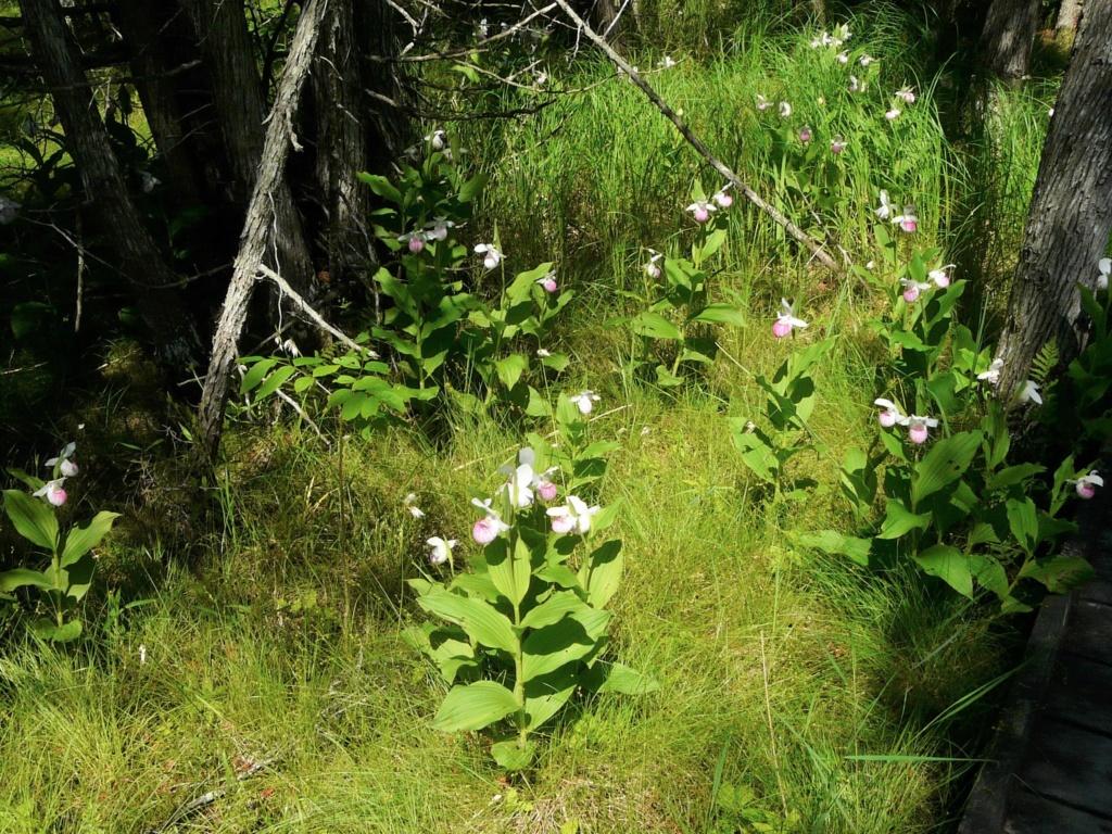 Cypripedium / Garden Slippers - Page 8 2-purd10