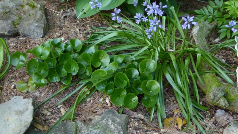 Avez-vous ça des Hyacinthoides hispanica ? P1120910