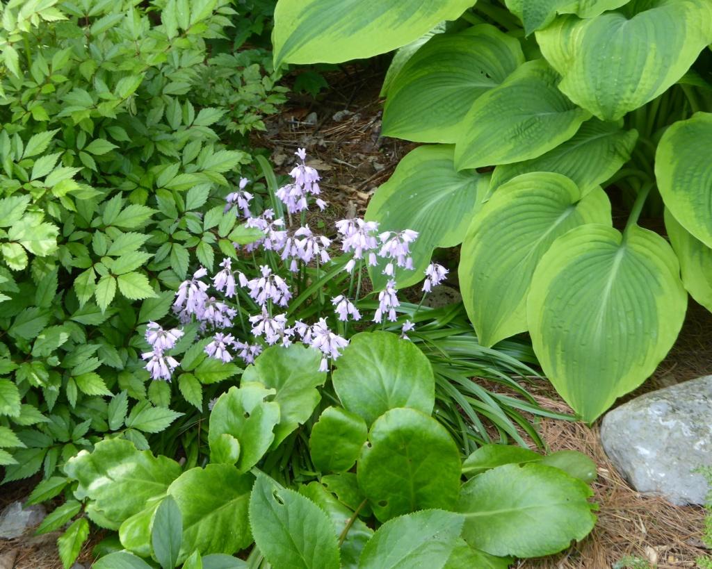 Avez-vous ça des Hyacinthoides hispanica ? P1130010