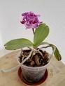 Unbekannte Orchideenart sieht krank aus Img_2010