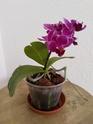 Unbekannte Orchideenart sieht krank aus Img_2012