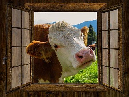 Cow in love Window11