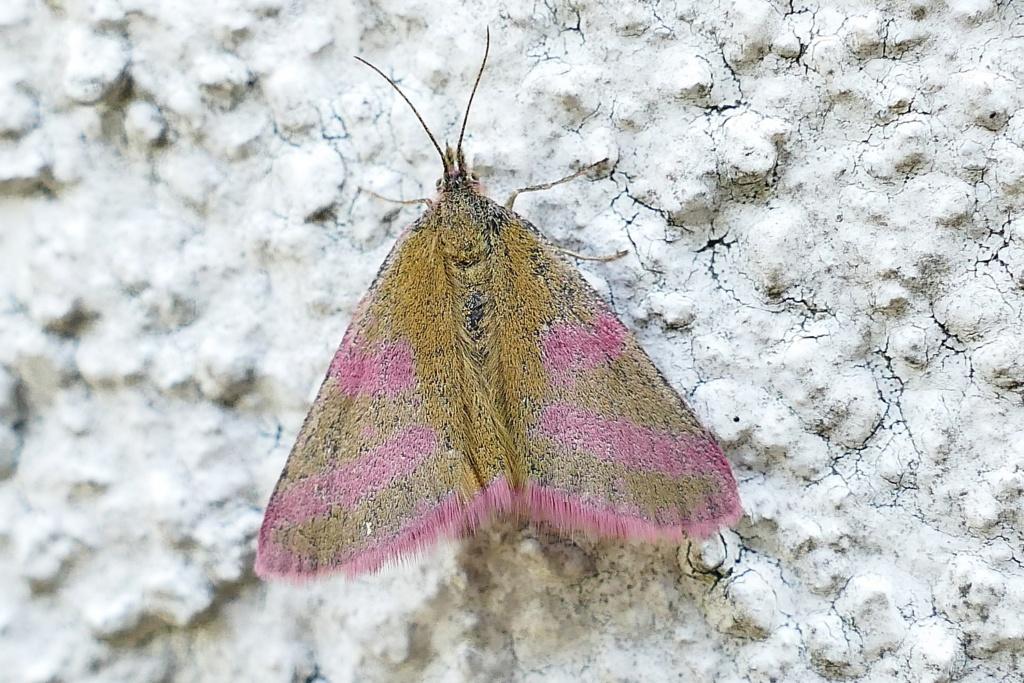 [Lythria purpuraria] (Ensanglantée des Renouées) 1_ensa10