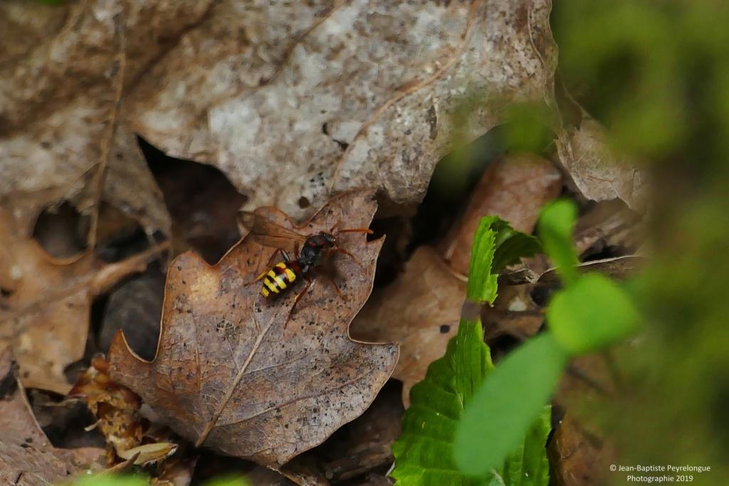 [Nomada sp.] Identification d'une petite Hyménoptères. P1200710