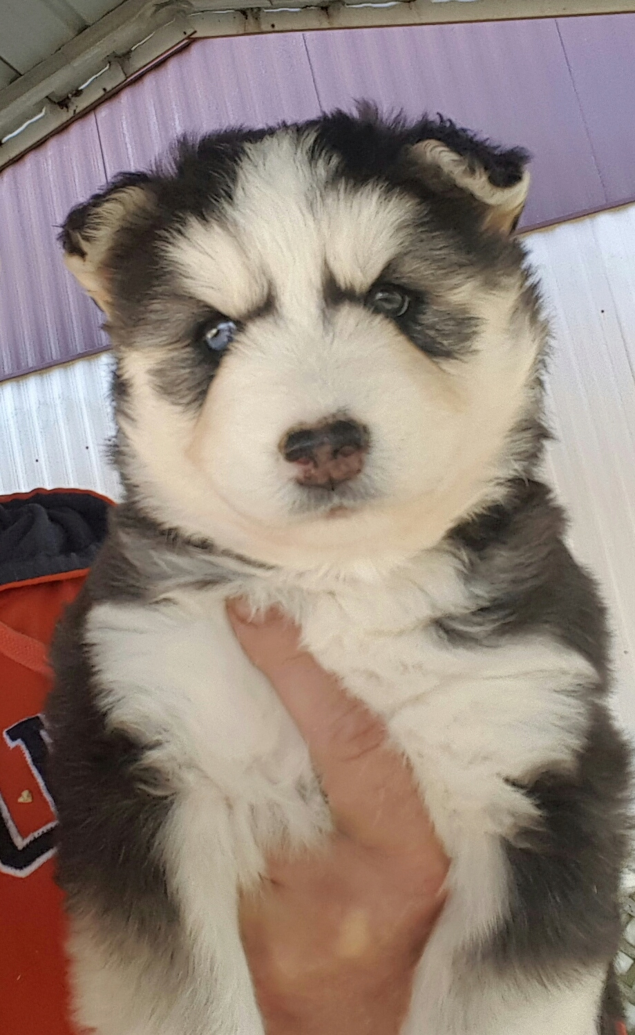 Can I be sure this is a full Siberian husky? 20181211