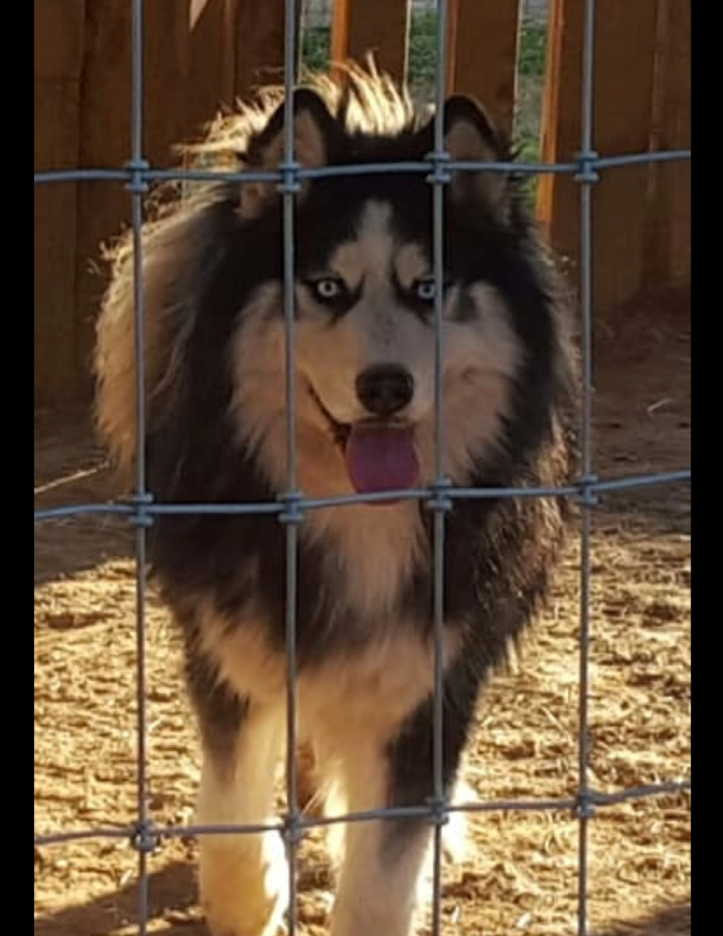 Can I be sure this is a full Siberian husky? 20181212