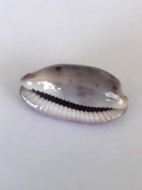 Talostolida violacincta - (Lorenz, 2002) 114
