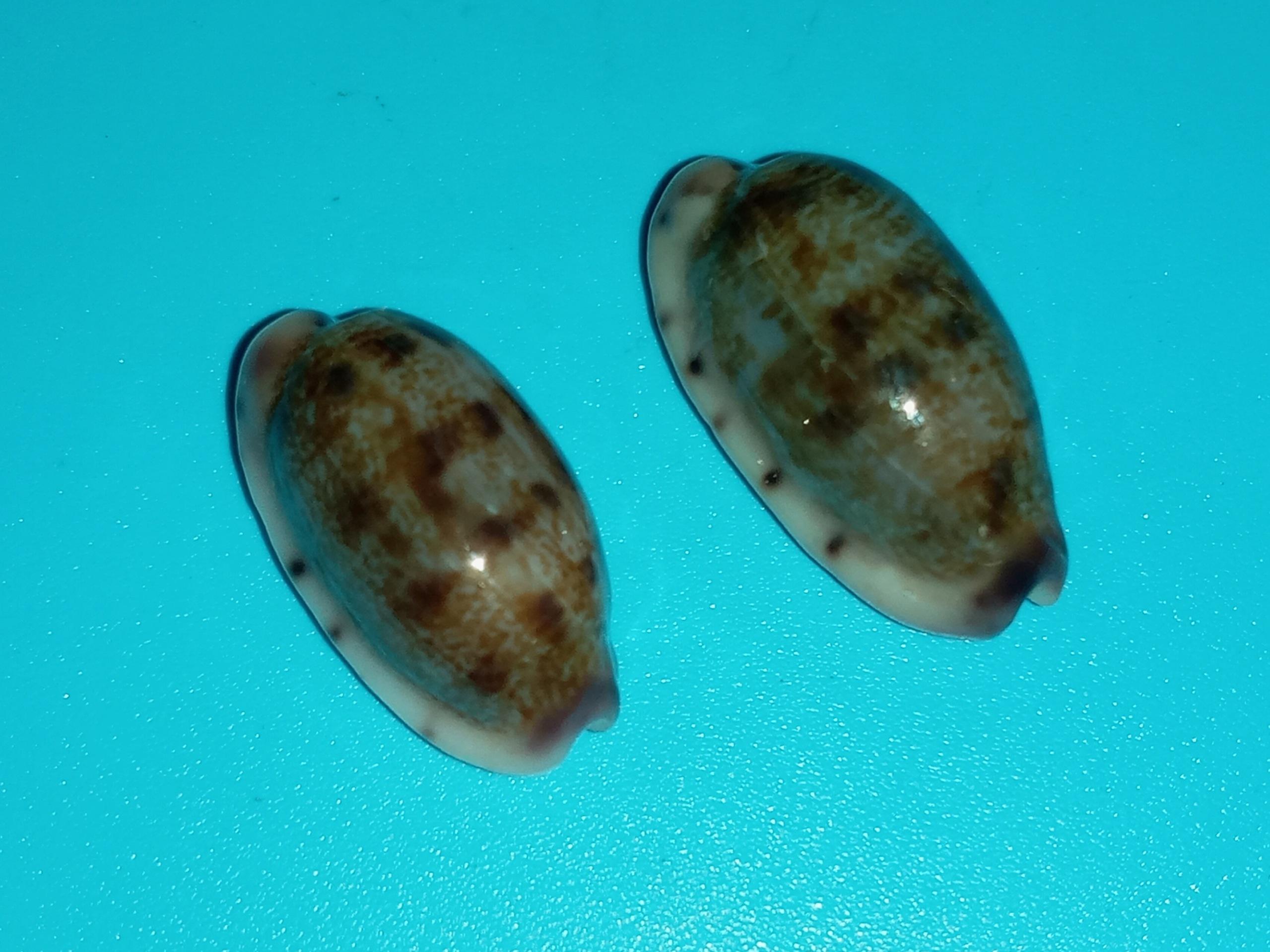 Talostolida teres janae - (Lorenz, 2002) 20200311
