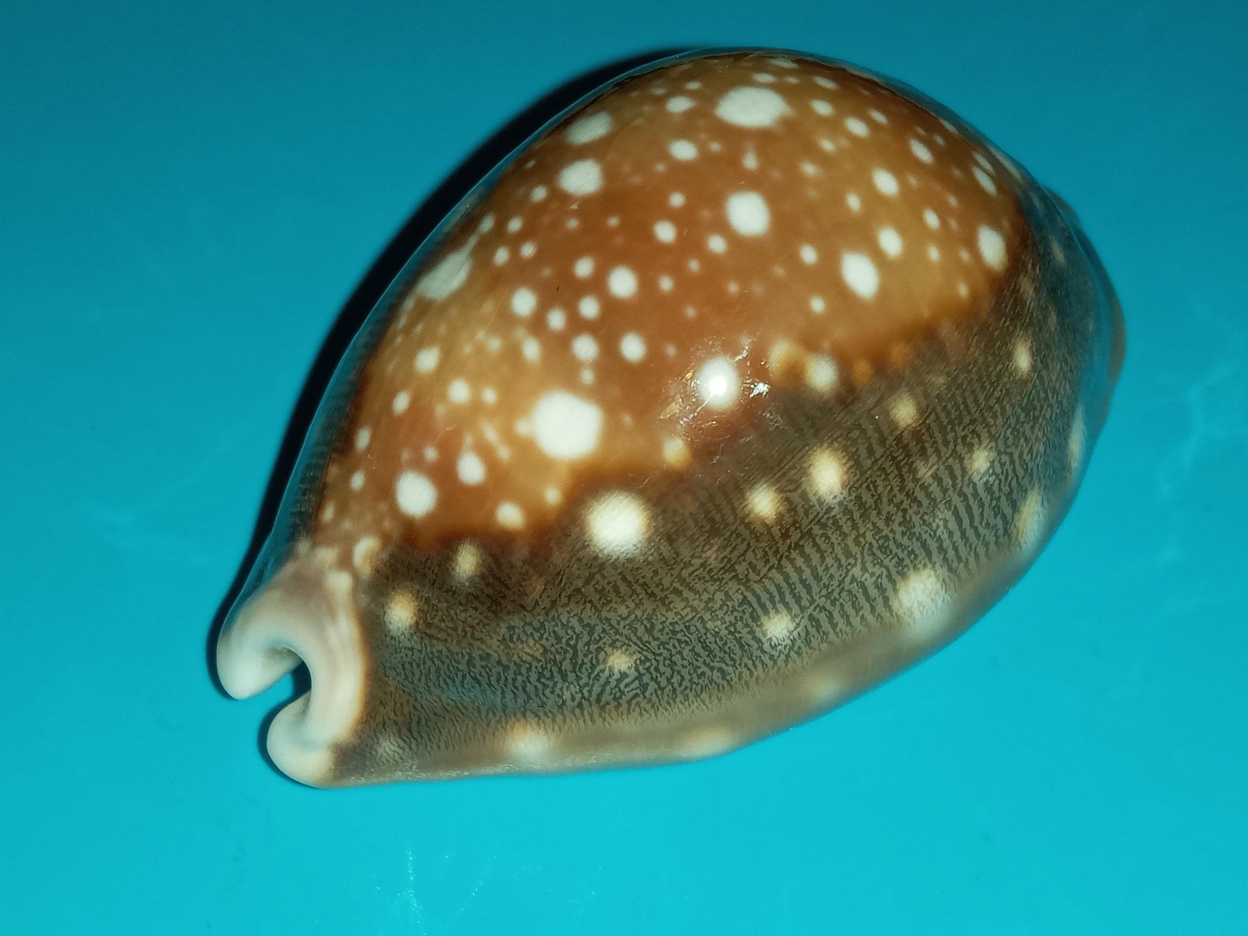 Lyncina vitellus polynesiae - Schilder, 1938 20200415