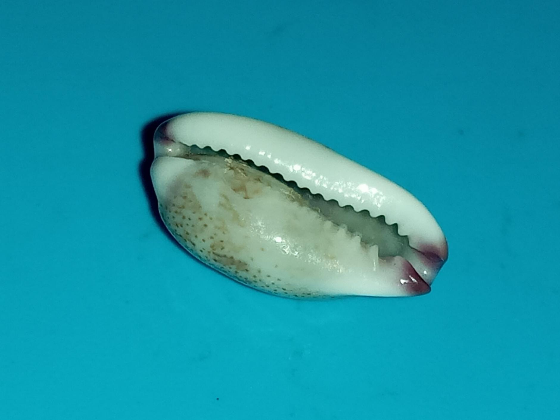 Purpuradusta fimbriata marmorata unizonata - (Schröter, 1804)  20200426