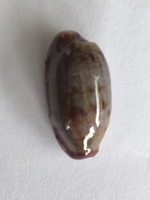 Talostolida violacincta - (Lorenz, 2002) 414