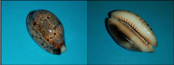 Lyncina lynx nigrolineata - Bozzetti, 2014 - Page 2 Captur13