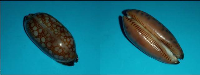 Mauritia scurra scurra f. hivaensis (Lorenz 2017) Captur14