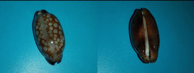 Mauritia scurra scurra f. hivaensis (Lorenz 2017) Captur15