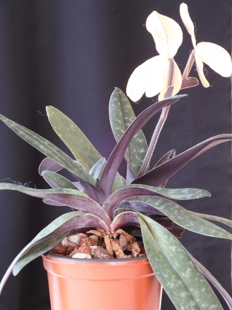 Paphiopedilum concolor - Seite 3 Paph_c15