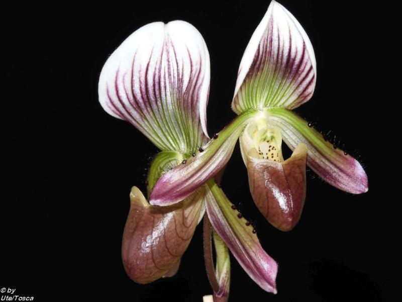 Paphiopedilum callosum und seine Varietäten ( thailandense ,  sublaeve ,  birkii ,  crossii ) Paph_c24