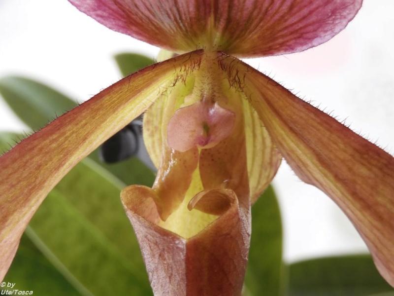 Paph. charlesworthii x Paph. Maudiae coloratum Paph_c26