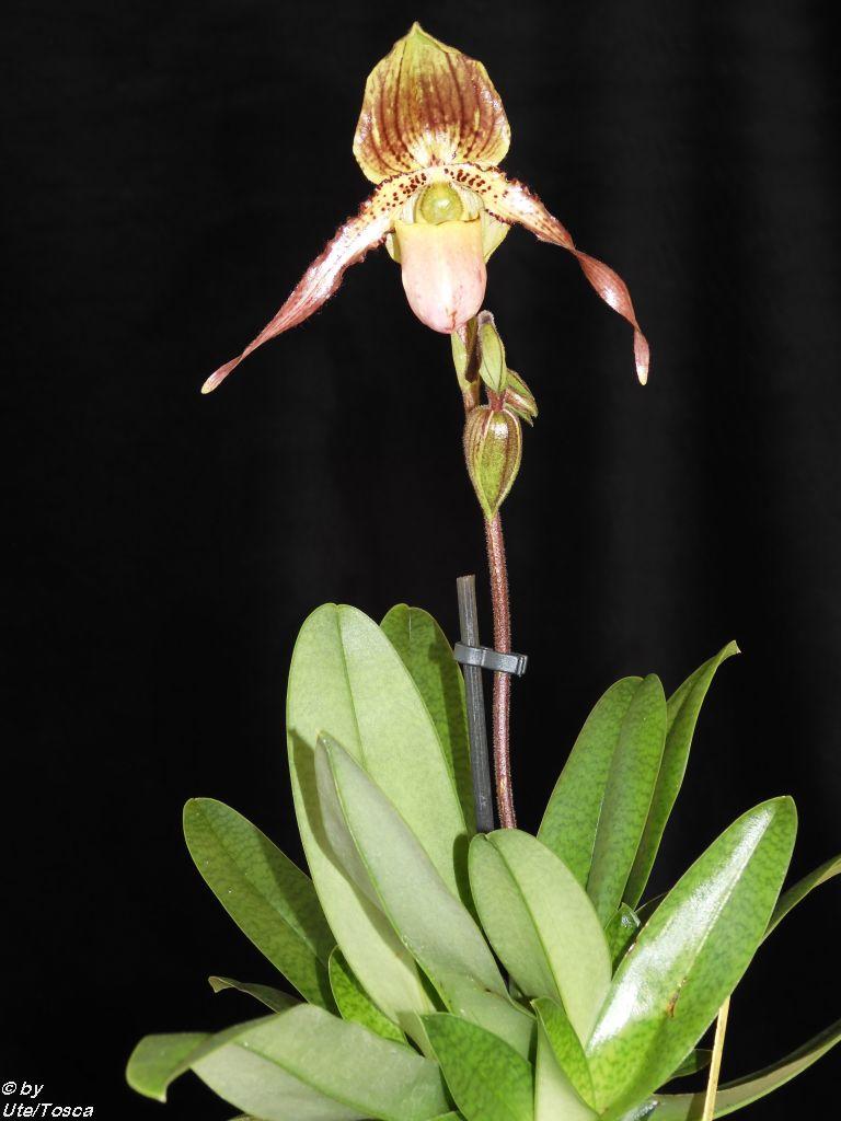 Paphiopedilum Pinocchio x philippinense Paph_p17
