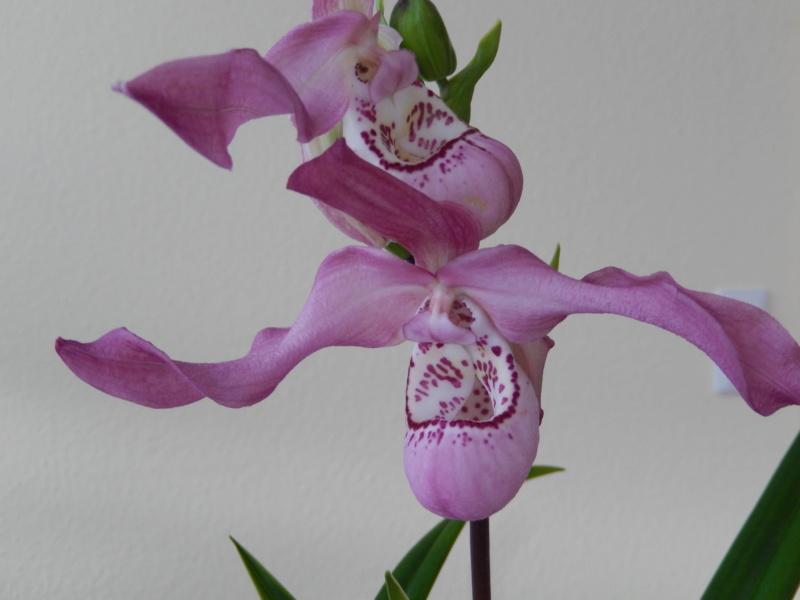 Phragmipedium Peruflora's Angel Phragm11