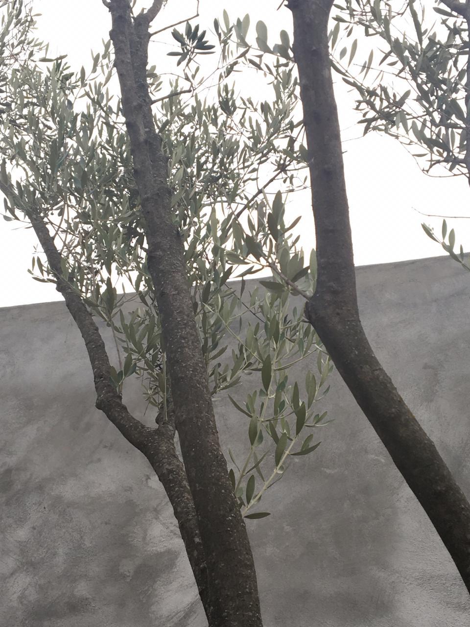 Consulta olivo ornamental (México) Whatsa10