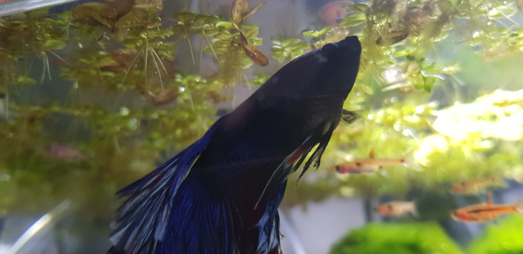 Betta splendens hydropisie ou constipation ? 20190811