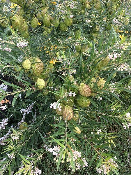 asclepia physocarpa ou gomphocarpus physocarpus - Page 3 P_gomp11