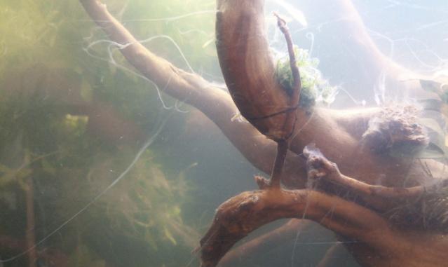 Lancement aquarium apocalyptique  100L Captur13