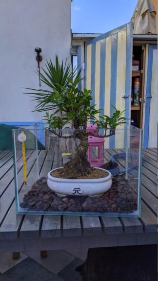 """Ficus retusa in """"terrario"""" Img_2014"""