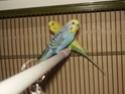 Présentation de mes ptits plumeaux Oiseau21