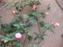 le printemps au jardin  Printe17