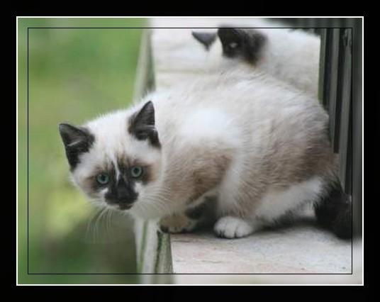 Cherche chaton poils longs pour câlinous - Prem's p 26 Ll_00210