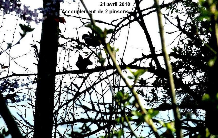 2010: dans mon jardin! oiseaux moutons poissons - Page 2 24_avr34