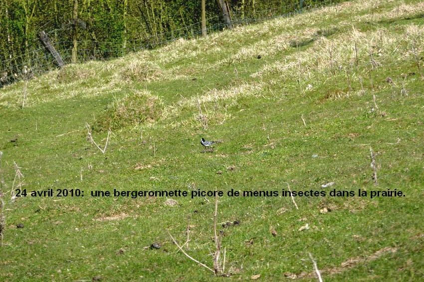 2010: dans mon jardin! oiseaux moutons poissons - Page 2 24_avr36