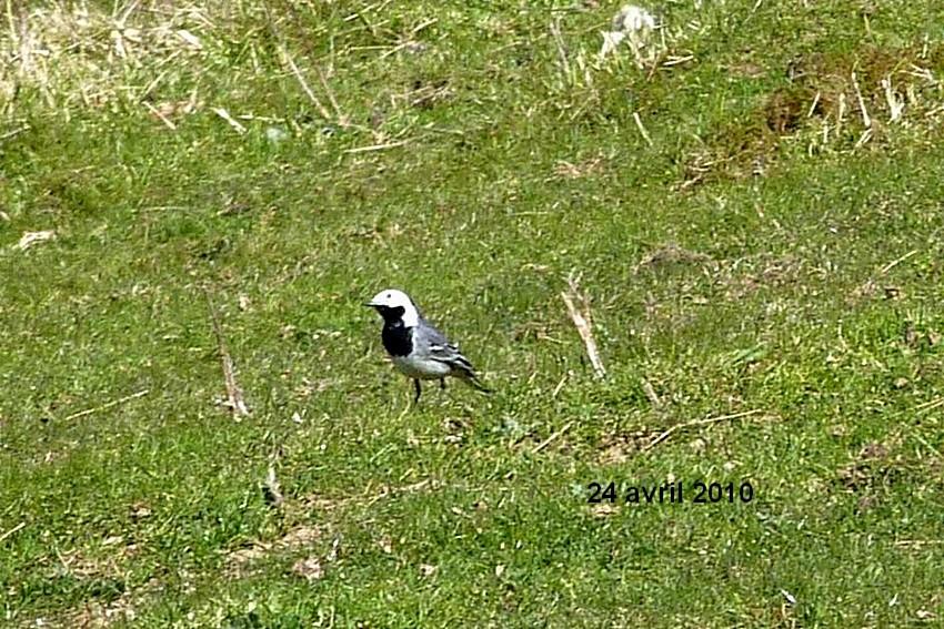 2010: dans mon jardin! oiseaux moutons poissons - Page 2 24_avr37