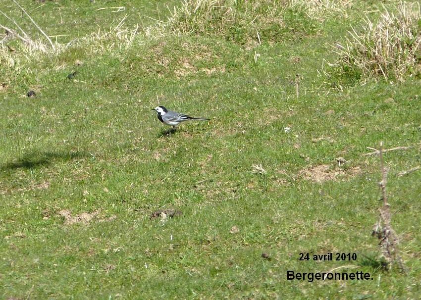 2010: dans mon jardin! oiseaux moutons poissons - Page 2 24_avr38