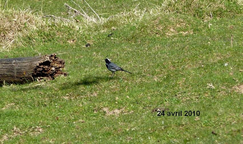2010: dans mon jardin! oiseaux moutons poissons - Page 2 24_avr39