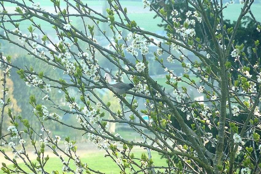 2010: dans mon jardin! oiseaux moutons poissons - Page 2 25_avr11