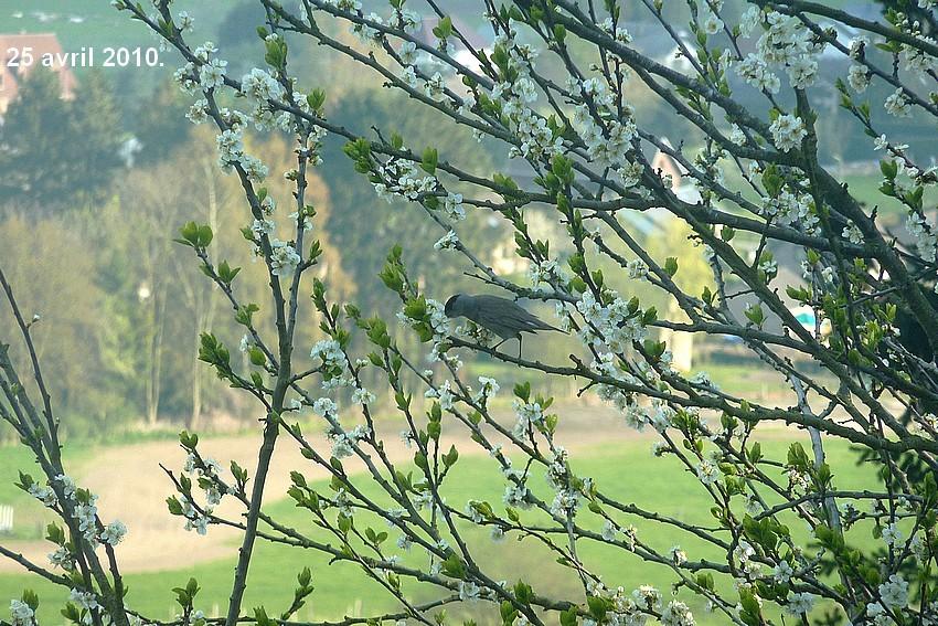 2010: dans mon jardin! oiseaux moutons poissons - Page 2 25_avr12