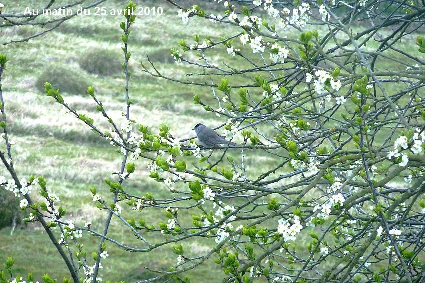 2010: dans mon jardin! oiseaux moutons poissons - Page 2 25_avr16