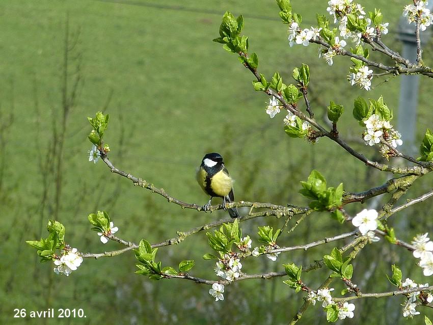 2010: dans mon jardin! oiseaux moutons poissons - Page 2 25_avr19