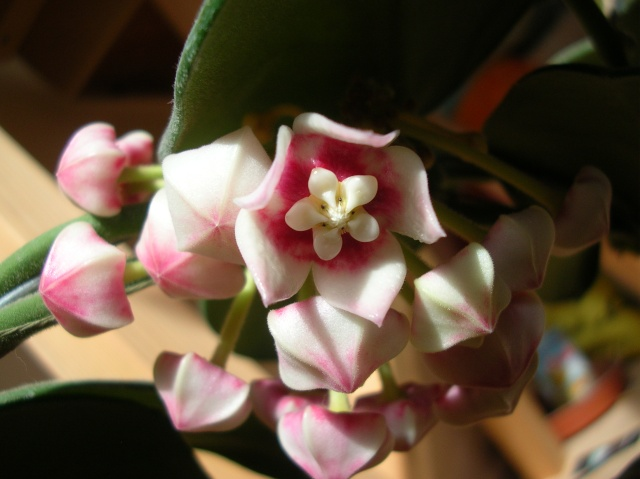 Hoya calycina en fleur Dscn1512