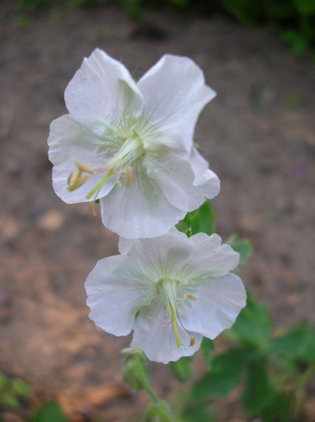 Saurez-vous reconnaître ce Geranium ? Dscn9517