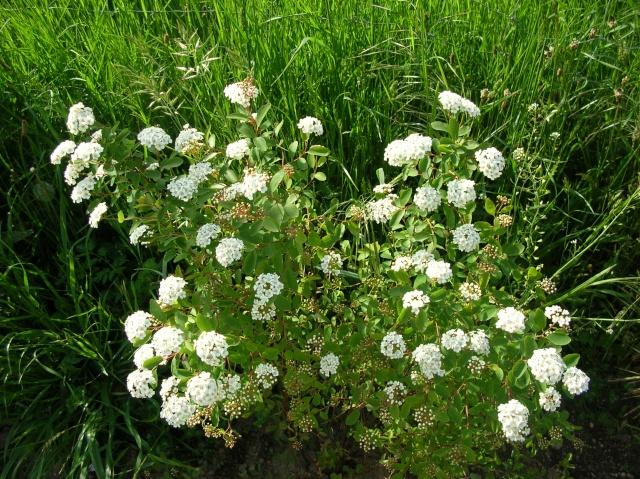 En fleurs! Dscn9520