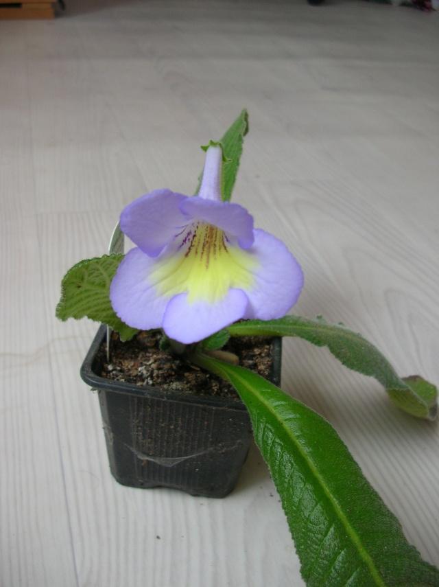 Quelques streptocarpus en fleur Dscn9612