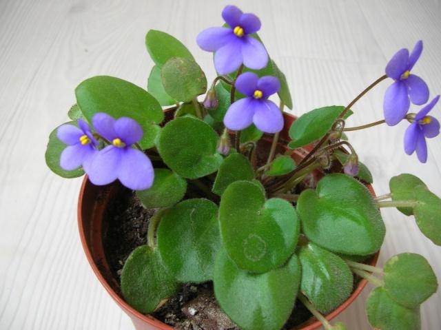 Saintpaulia 'Pixie Blue' Dscn9613