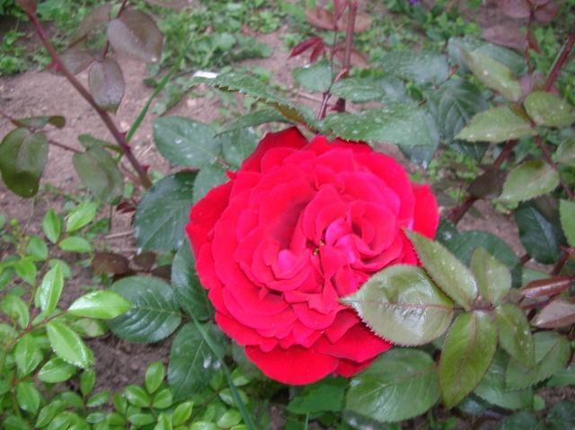 Les roses de l'Ardèche Dscn9615