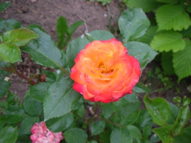Les roses de l'Ardèche Dscn9616