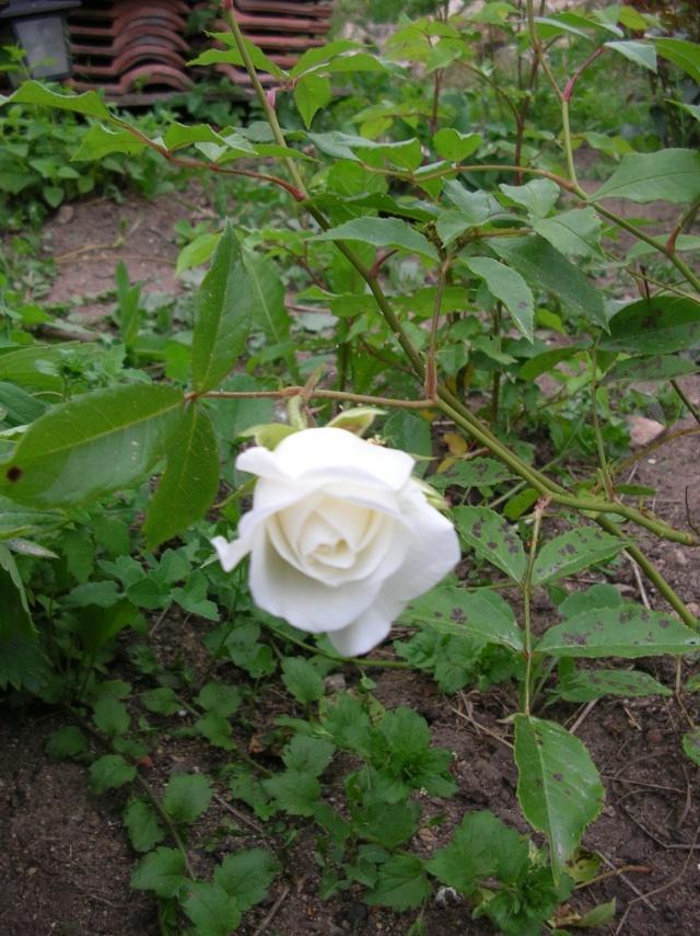 Les roses de l'Ardèche Dscn9617